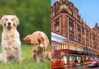 Dog carer for business couple six-storey Knightsbridge townhouse to keep golden retrievers Milo and Oscar happy