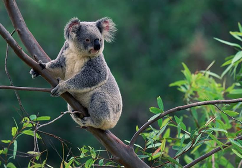 Hundreds of koalas burned alive in blazing bushfire declared