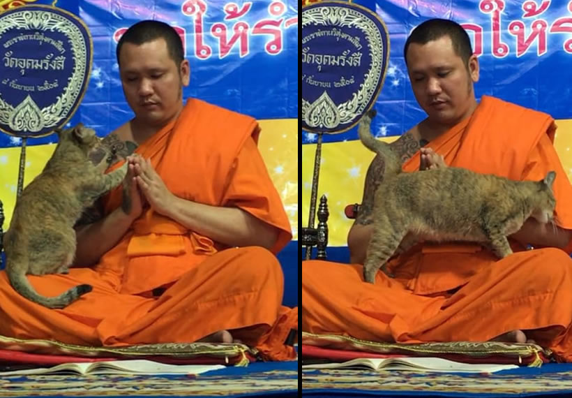 Cat vs chants: Friendly feline tests Buddhist monk