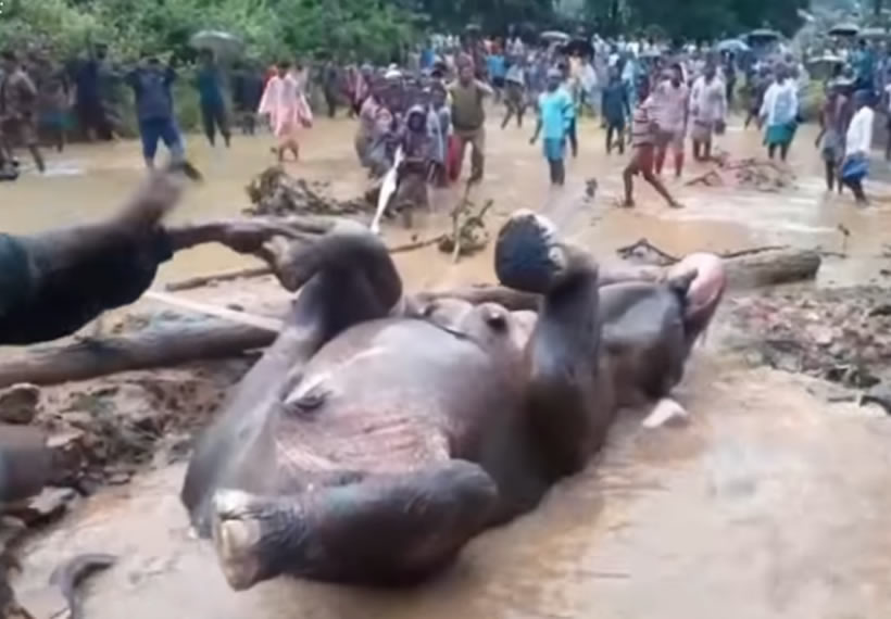 Rescuers save elephant stuck in flooded pit after two-hour operation