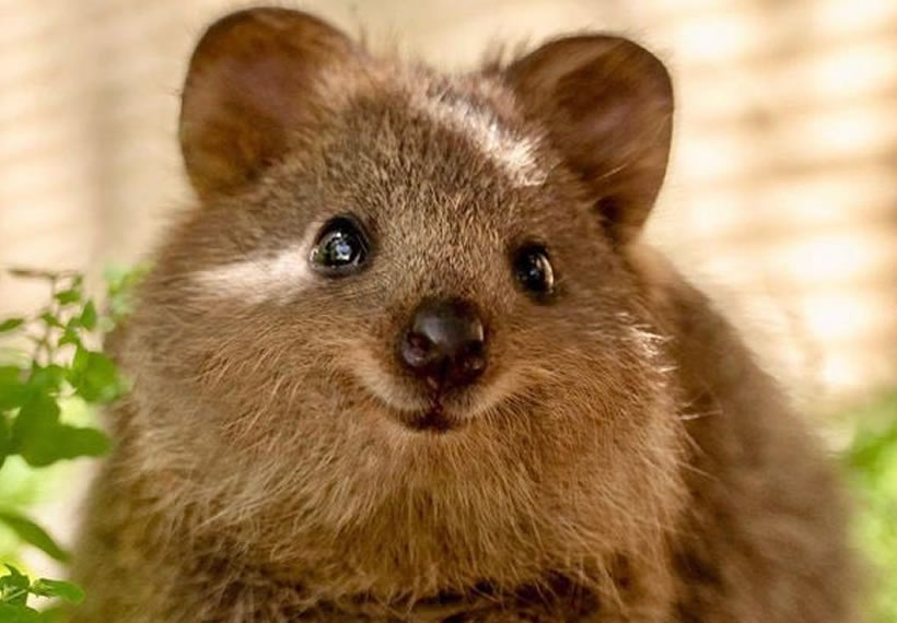 Quokkas Are So Cute People Can