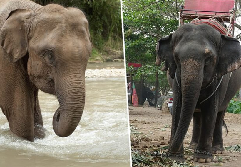 Thousands Of Elephants Bred For Entertainment Are Starving In Thailand
