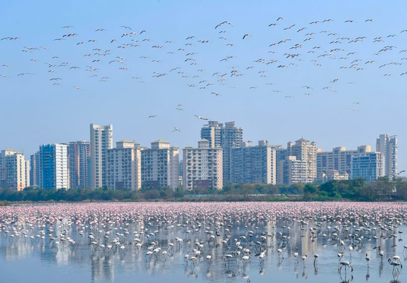 Thousands of Flamingos Flock to Mumbai Amid Lockdown, Creating a Dazzling Sea of Pink