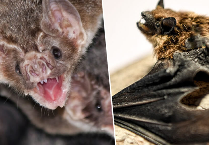 Vampire Bats Practise Social Distancing When They