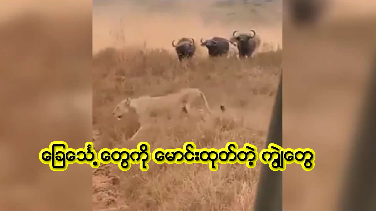 Buffalo herd chases pride of lions away. Viral video teaches important life lesson