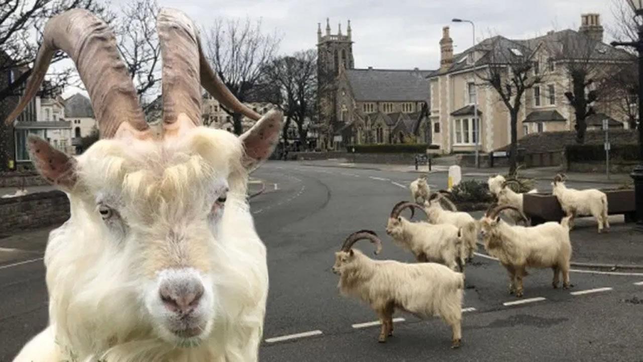 Wild goats take over deserted Welsh town during coronavirus lockdown