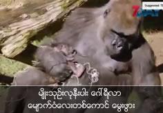 A rare baby gorilla born