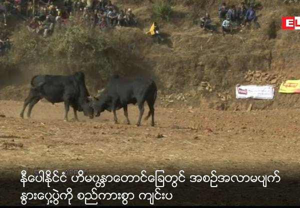 Traditional cow boxing festival from Nepal