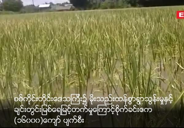 (16000) paddy tation acres damage due to Chindwin river rising water at Sagaing Division