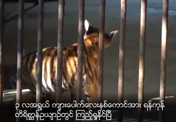 2 three-month-old tiger cubs can be seen at yangon zoological garden
