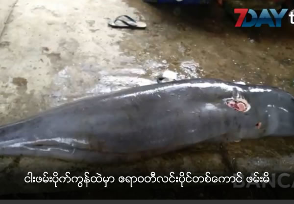 One Ayyarwady Dolphin caught in net