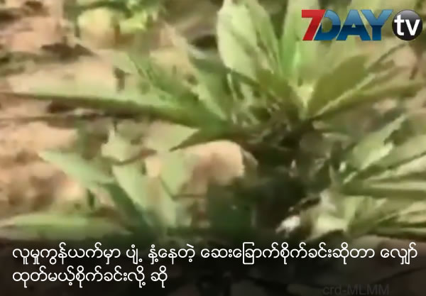 Marijuana plantation information spread in social networks but actually hemp plantation