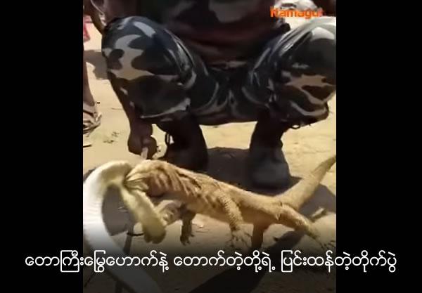 Battle between a king cobra and gecko