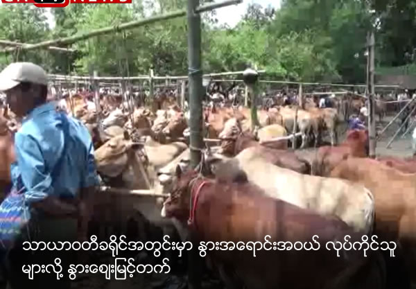 Cow price high due to much cow business in Tharyarwady