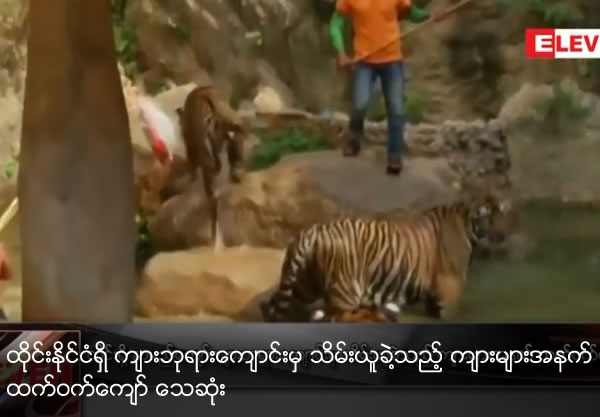 Half of tigers rescued from Thai temple have died