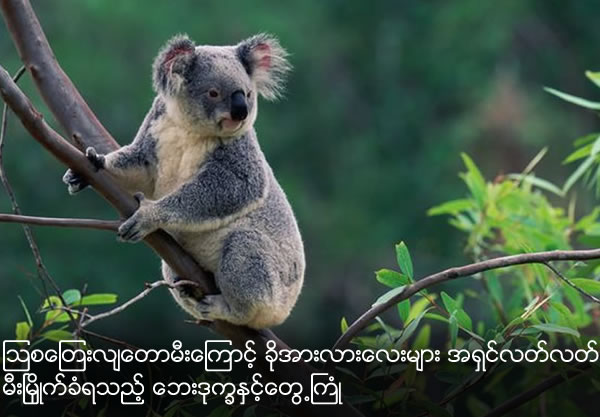 Hundreds of koalas burned alive in blazing bushfire declared 'national tragedy'