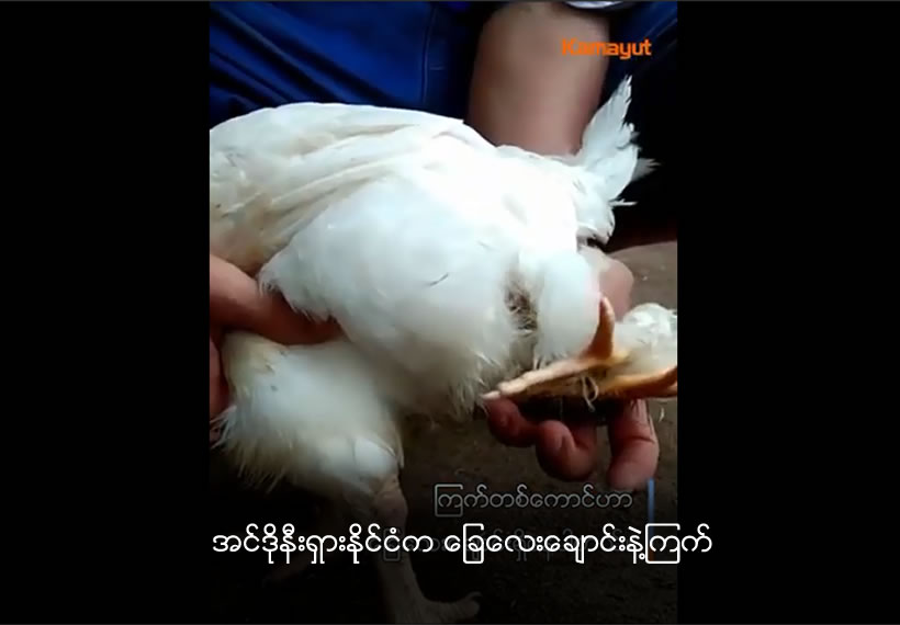 Rare four-legged chicken discovered in rural Indonesia