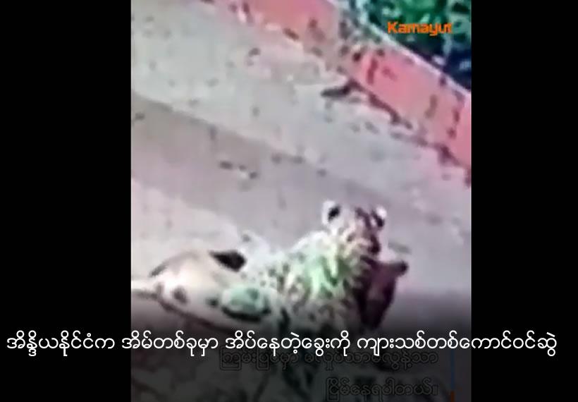 Leopard steals away sleeping pet dog from owner's doorstep