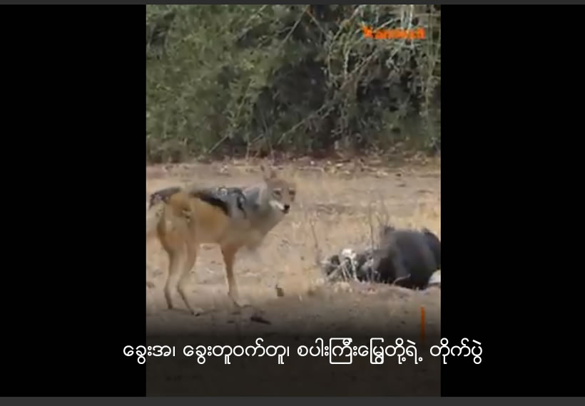 A honey badger, two jackals and a python have been filmed in an extraordinary fight