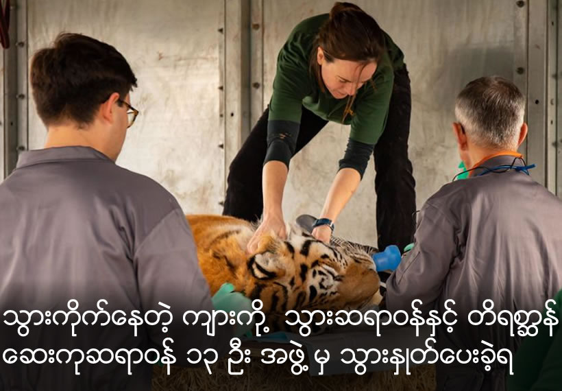 Daring dentists remove 30-stone Siberian tiger's massive fang as he's knocked out