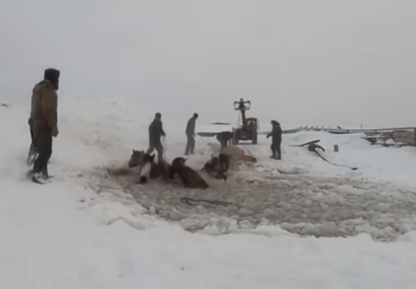 Russian farmers save horses that fell through thin ice