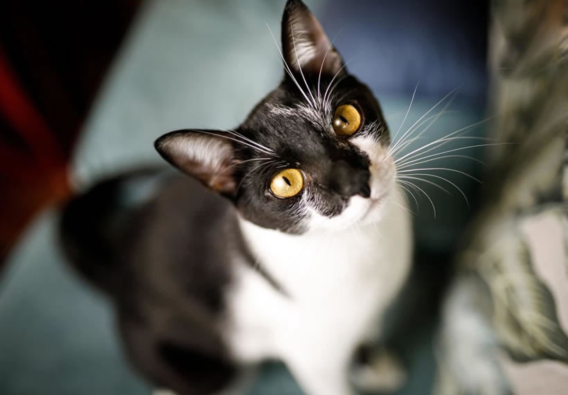 Cats can infect each other with coronavirus, study finds